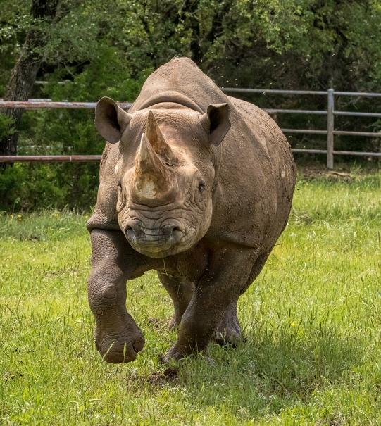 blk rhino