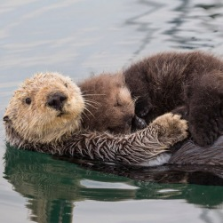 Southern Sea Otter Enhydra lutris Raft Monterey, CA, USA