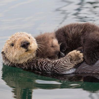 Southern Sea Otter Enhydra lutris Raft Monterey, CA, USA